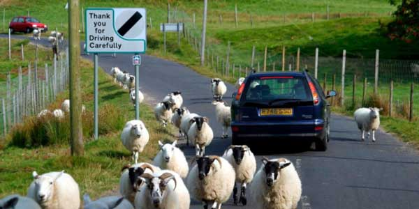 Family Cars and Sheep